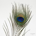 "Peacock Eye - Lenght 12"" - Natural color."